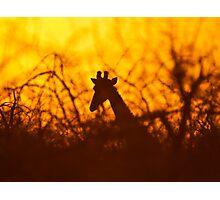 Golden silhouette giraffe Photographic Print