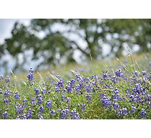 Lupin Meadow Photographic Print