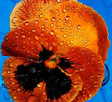 Orange Pansy Floating by Tori Snow