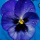 Purple Pansy Floating  by Tori Snow