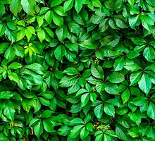 Lush Green Hedge Background by mrdoomits