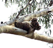 Koala flipping the bird by Joy-by-Jennie