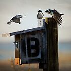 Tree Swallows by Chris Lord