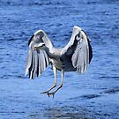 Heron: Coming in to Land by Rob Parsons