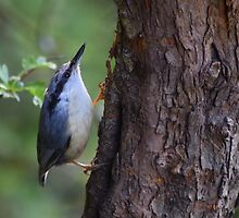 Nuthatch by Rob Parsons