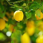 lemon abundance by lukasdf