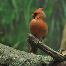 Northern Cardinal... by Poete100