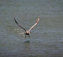 Pelican in Flight by Sue Martin