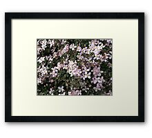 Wall of Blossoms - Montana Clematis Framed Print