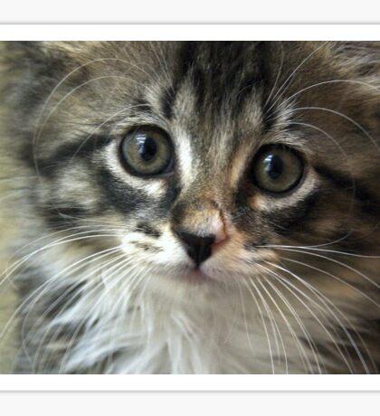 Kitten Augie Sticker