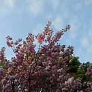 Pink Tree Blossoms against Blue Sky by BlueMoonRose