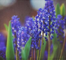 grape hyacinth  by AbigailChanelle