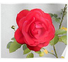 End of Summer Rose Poster