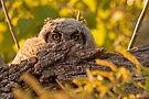 Hiding Owlet by Eivor Kuchta