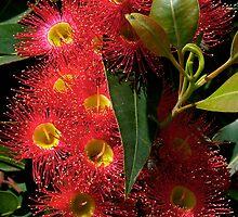 Blossom, Australian, Eucalyptus, ficifolia. by johnrf