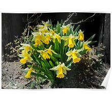 Yellow Daffodil flowers Poster