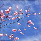 Cherry blossoms by LadyFi