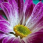 Chrysanthemum_002 by Michael Greaves