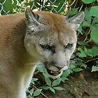 Cougar/Puma~ by virginian