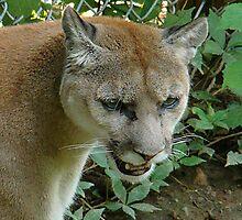 Cougar/Puma~ by virginian