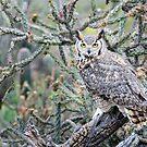 Desert Owl by Barbara Manis