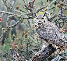 Desert Owl by Barbara Manis