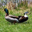 Ducks by creepy1