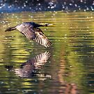 Little Black Cormorant above Coomaditchy Lagoon, Port Kembla by ThisMoment