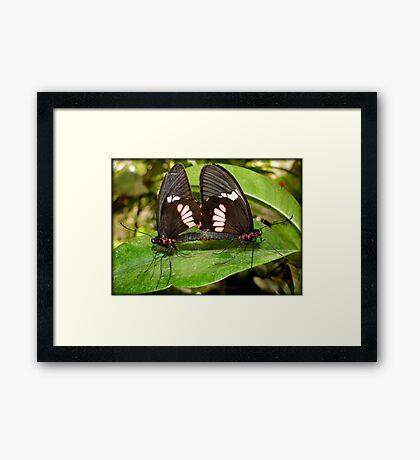 True Cattleheart Butterflies Breeding (South America) Framed Print