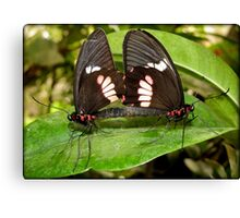 True Cattleheart Butterflies Breeding (South America) Canvas Print