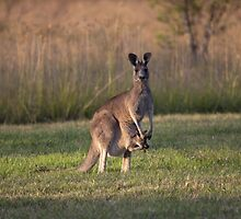"Kangaroo with ""Boxing"" Joey -Vacy, NSW Australia by SNPenfold"