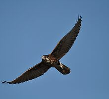 Brown Falcon by TootgarookSwamp