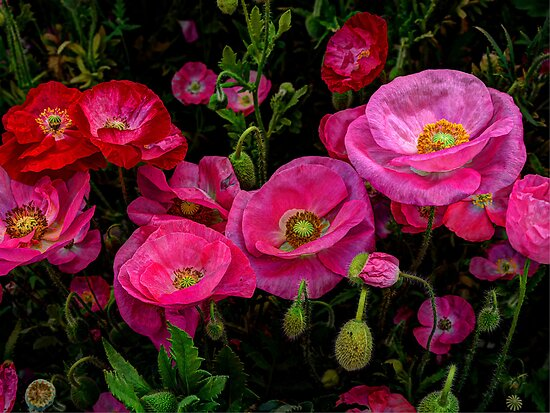 Pink is always better ~ Poppy ~ by Charles & Patricia   Harkins ~ Picture Oregon