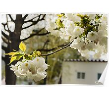 White Cherry Blossoms - The flower of happiness Poster