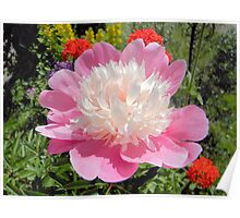 Pink Peony with Red Poster