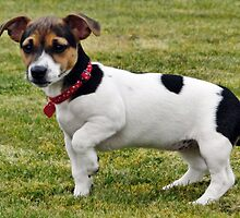 Jack Russell by Barrie Woodward