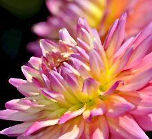 Pink dahlia flower by perlphoto