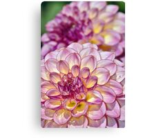 Purple dahlia flowers Canvas Print