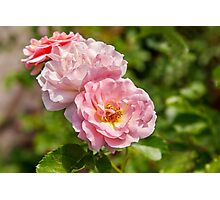 two pink roses closeup Photographic Print