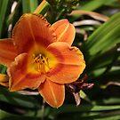Orange Tiger Lily by IreKire