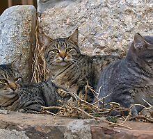 Cats of Krk by Valerija S.  Vlasov