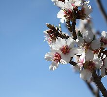 Apricot Tree Blossoms by IreKire
