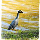Yellow Crowned Night Heron by DottieDees