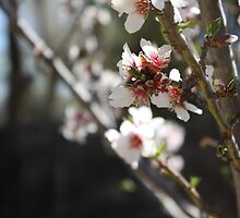 Apricot Tree Blossoms pt2 by IreKire