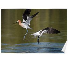 Avocet Fight Poster