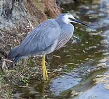 White Faced Heron- Landscape by mncphotography
