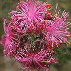 Isopogon formosus by kalaryder
