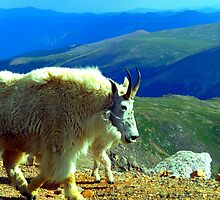 Mountain Goat by Panjok2