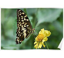"CITRUS SWALLOWTAIL – Papillio demodocus demodocus - Die ""SITRUS SWAELSTERT VLINDER"" Poster"