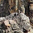 Osprey Nest by AnnDixon